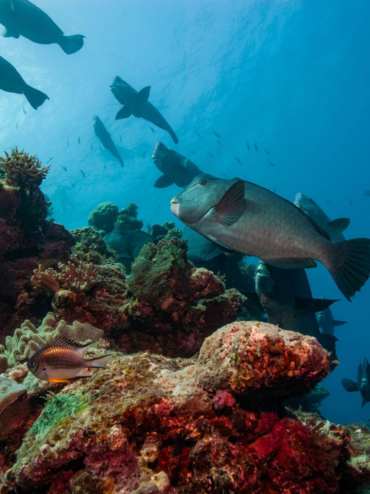 Cairns reef trip - Bumphead Parrot Fish on the Great Barrier Reef