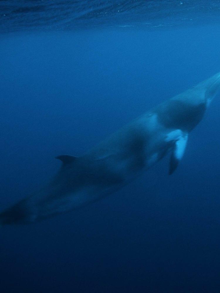 Scuba dive Great Barrier Reef, Australia - underwater photo of Minke Whale