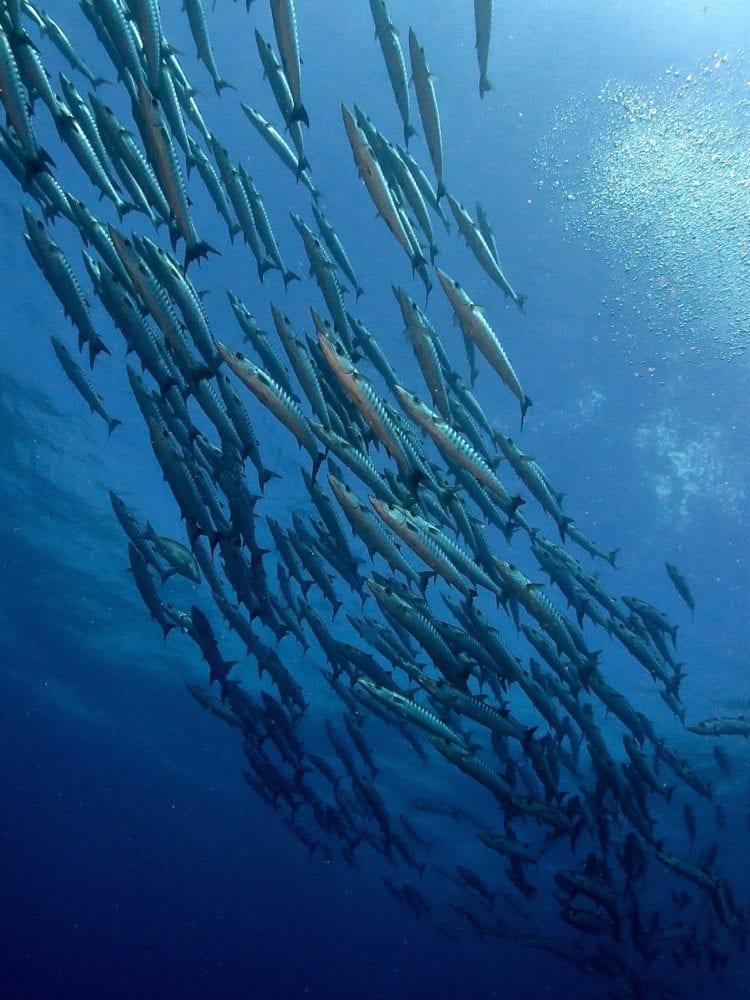 School of Barracuda - Ribbon Reefs
