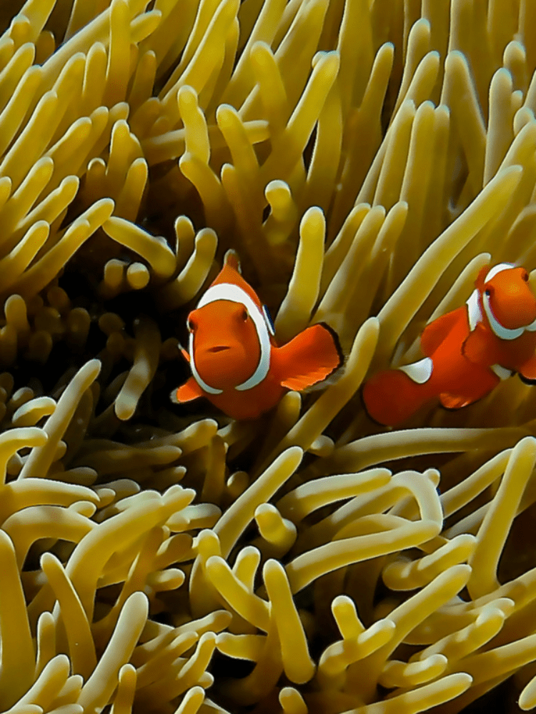 Cairns scuba diving courses - clown fish swimming amongst sea anemone