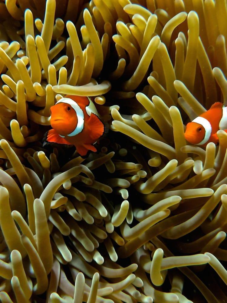 Dive In Australia Great Barrier Reef adventures - Clown Fish
