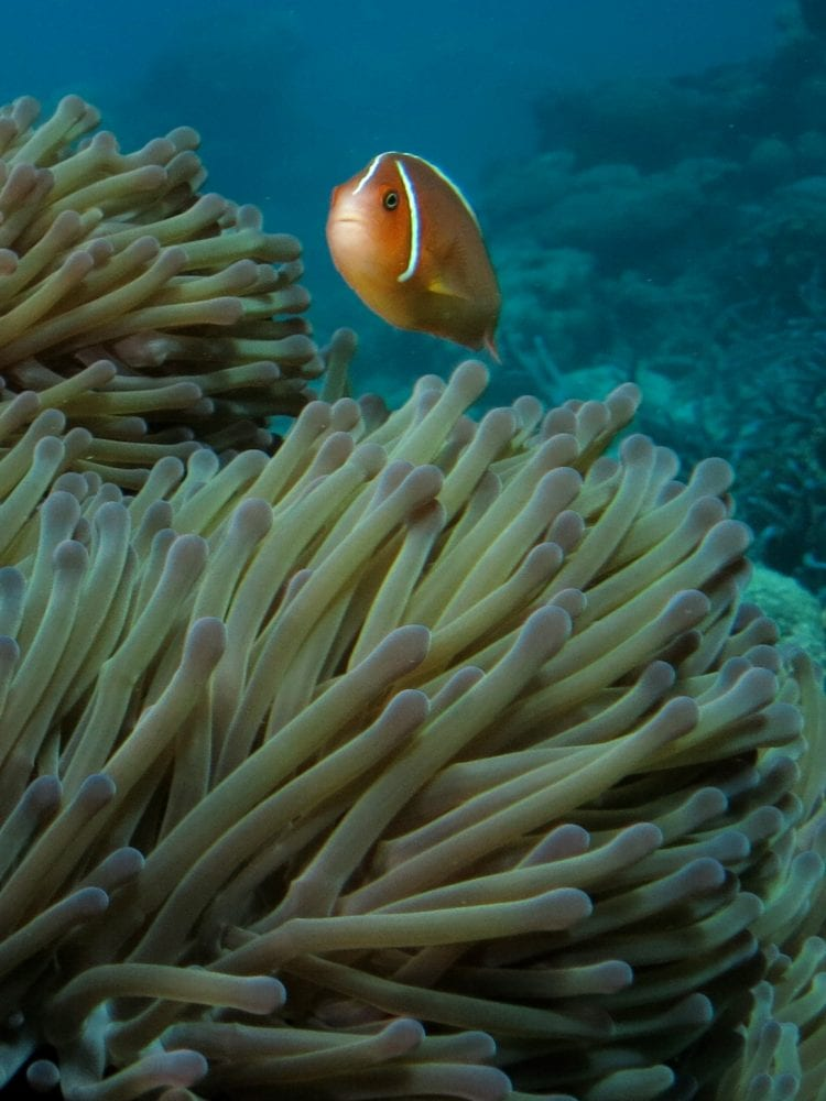 Cairns liveaboard scuba diving - clown fish swimming amongst anemone on the Great Barrier Reef, Queensland