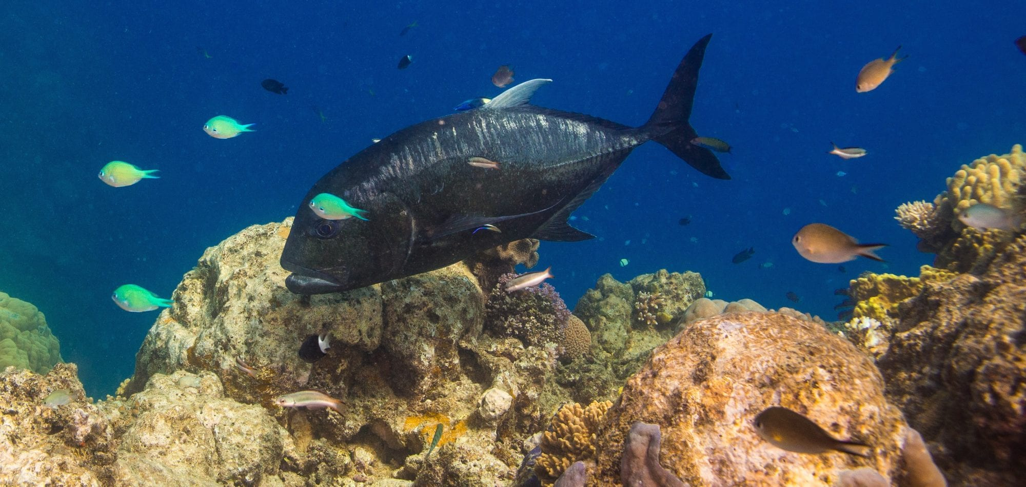 Giant Trevally - Great Barrier Reef
