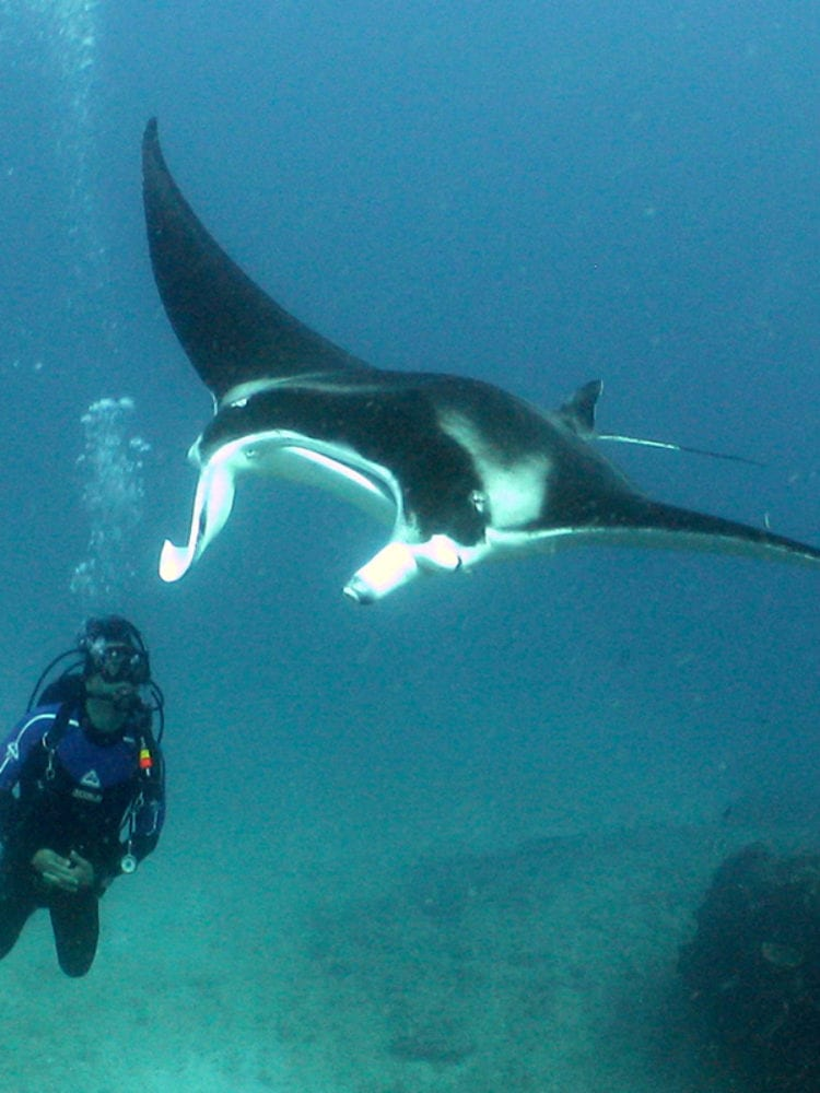 Diver & Mantaray - Ningaloo Reef