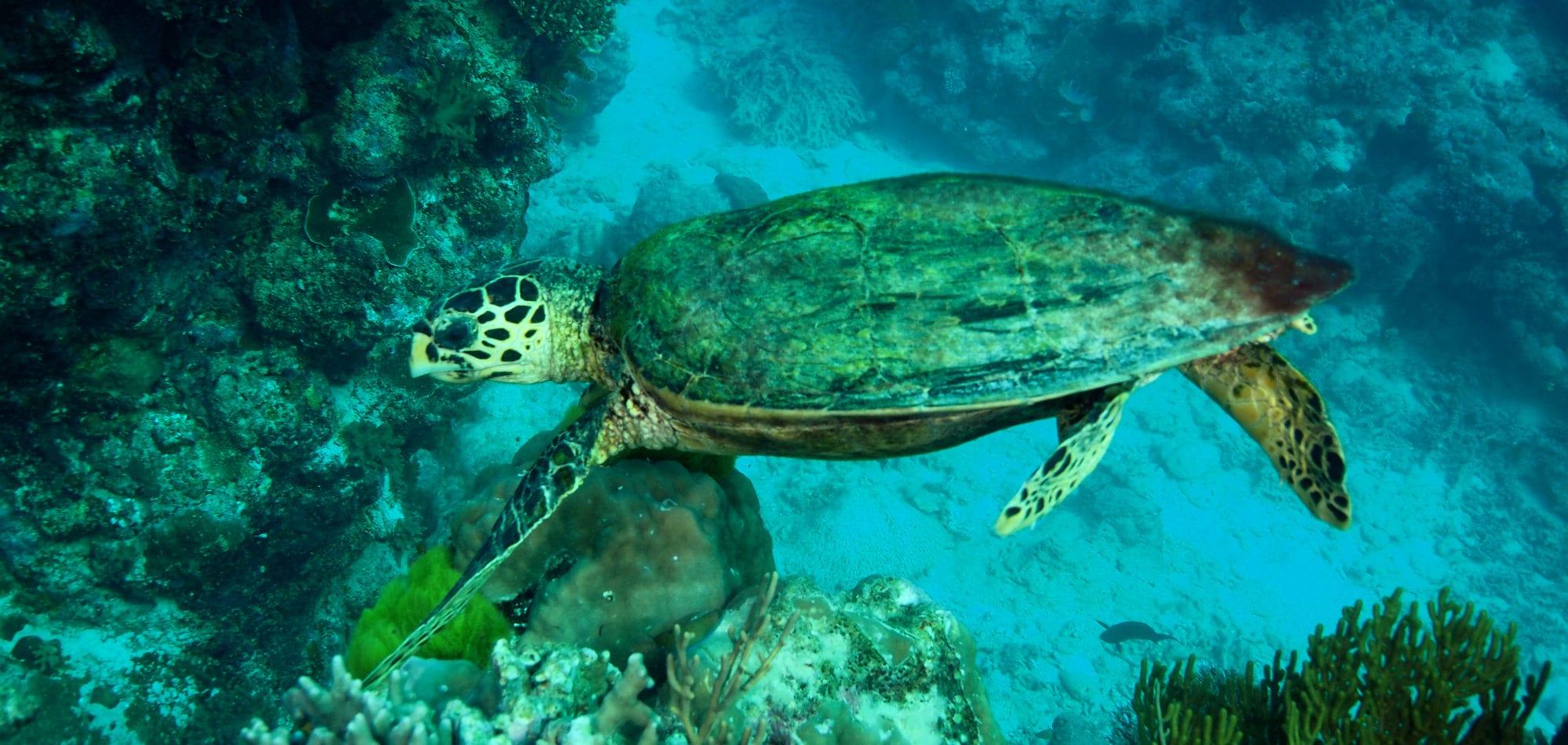 Green Turtle - Great Barrier Reef