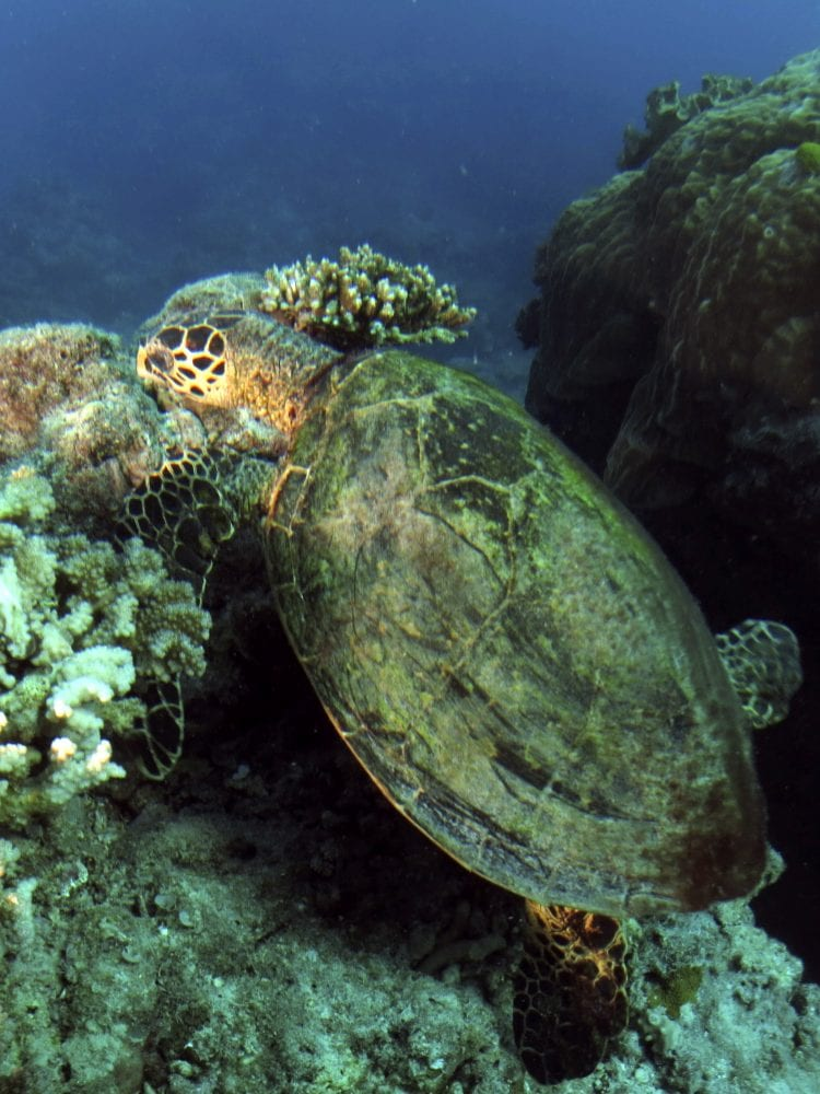 Cairns liveaboard scuba diving - Hawksbill Turtle on the Great Barrier Reef, Queensland