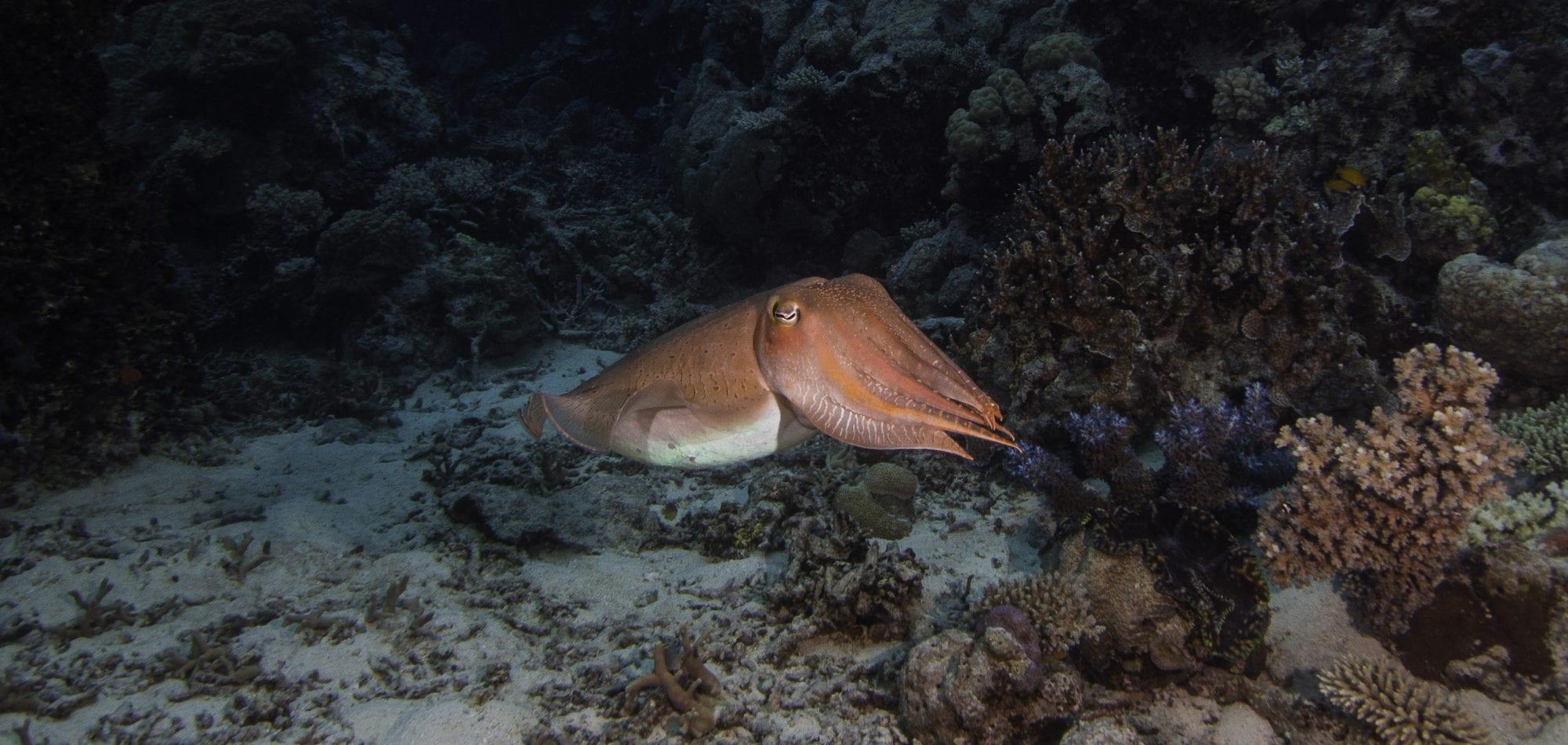 Ribbon Reefs scuba diving holiday - Cuttlefish