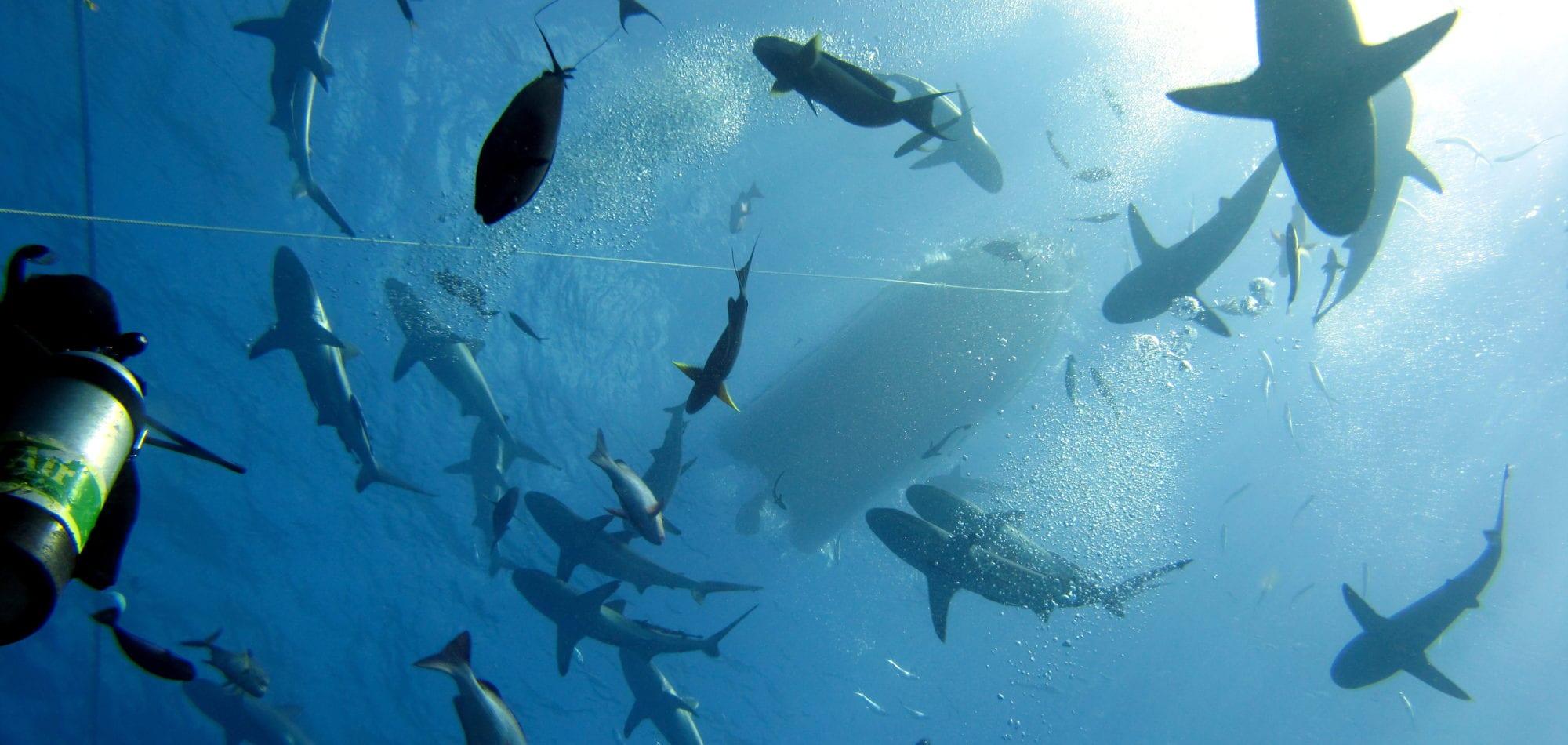 Spirit of Freedom - Swirling sharks