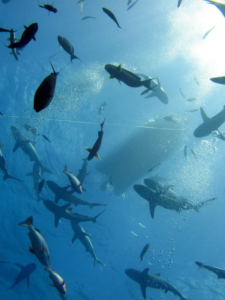 Scuba diving adventure holiday - swirling sharks below the Spirit of Freedom boat
