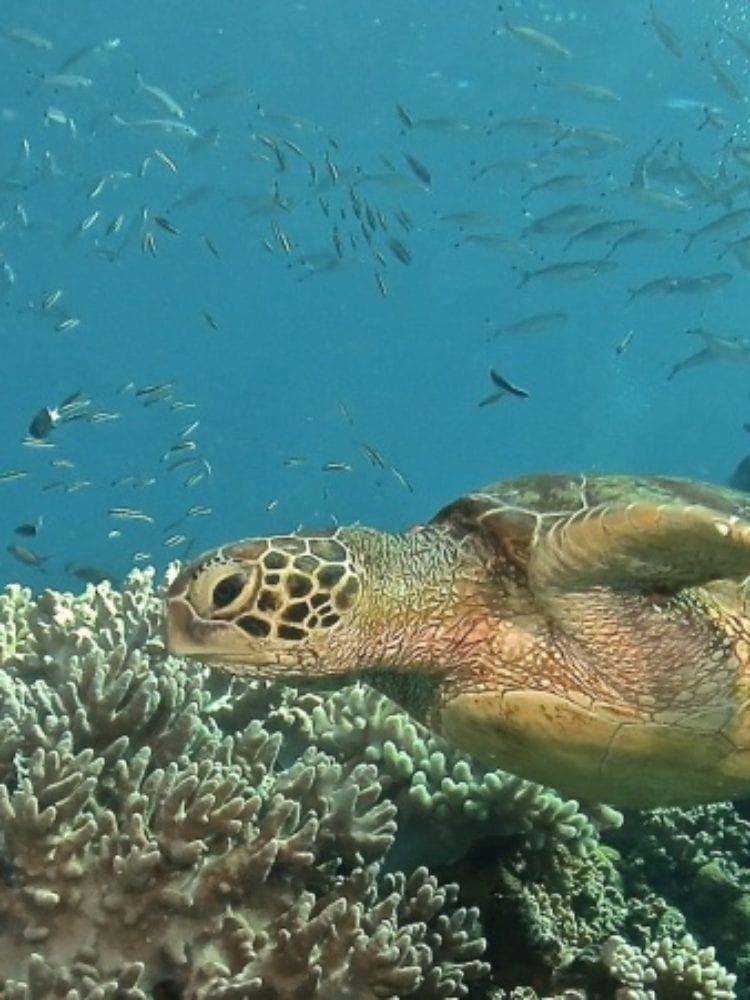 Cairns reef trip - Hawksbill Turtle on the Great Barrier Reef