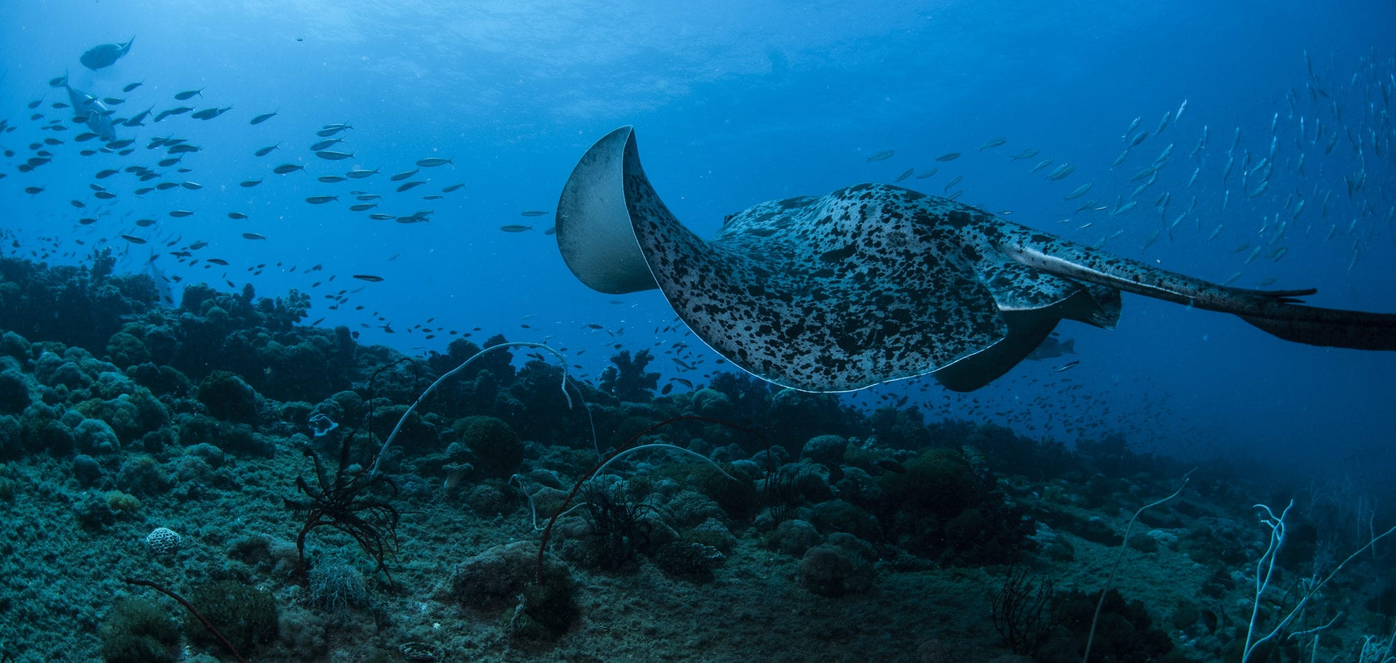 Wreck diving in Australia - manta ray at the SS Yongala scuba dive
