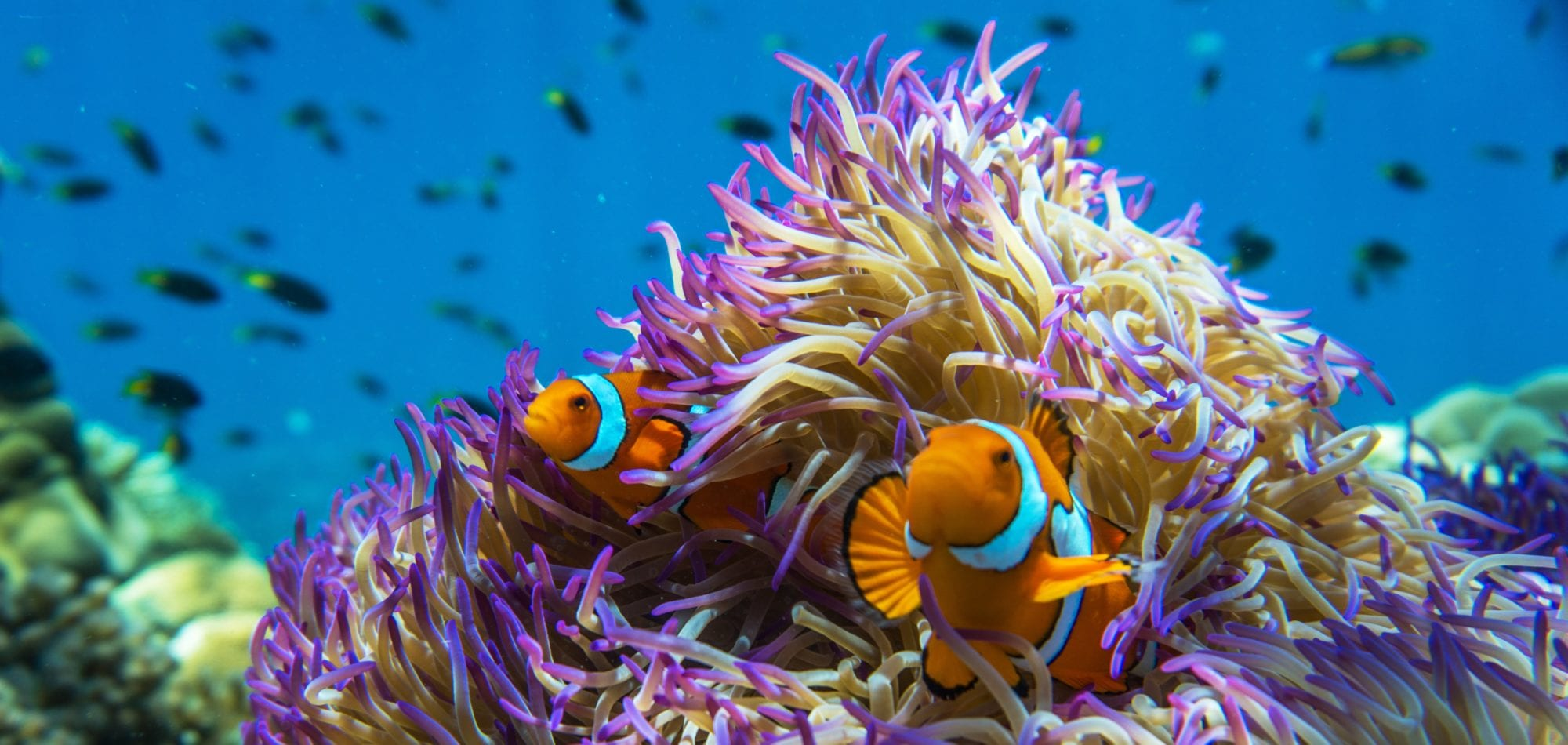Cairns day trip - clown fish amongst anemone on the Great Barrier Reef