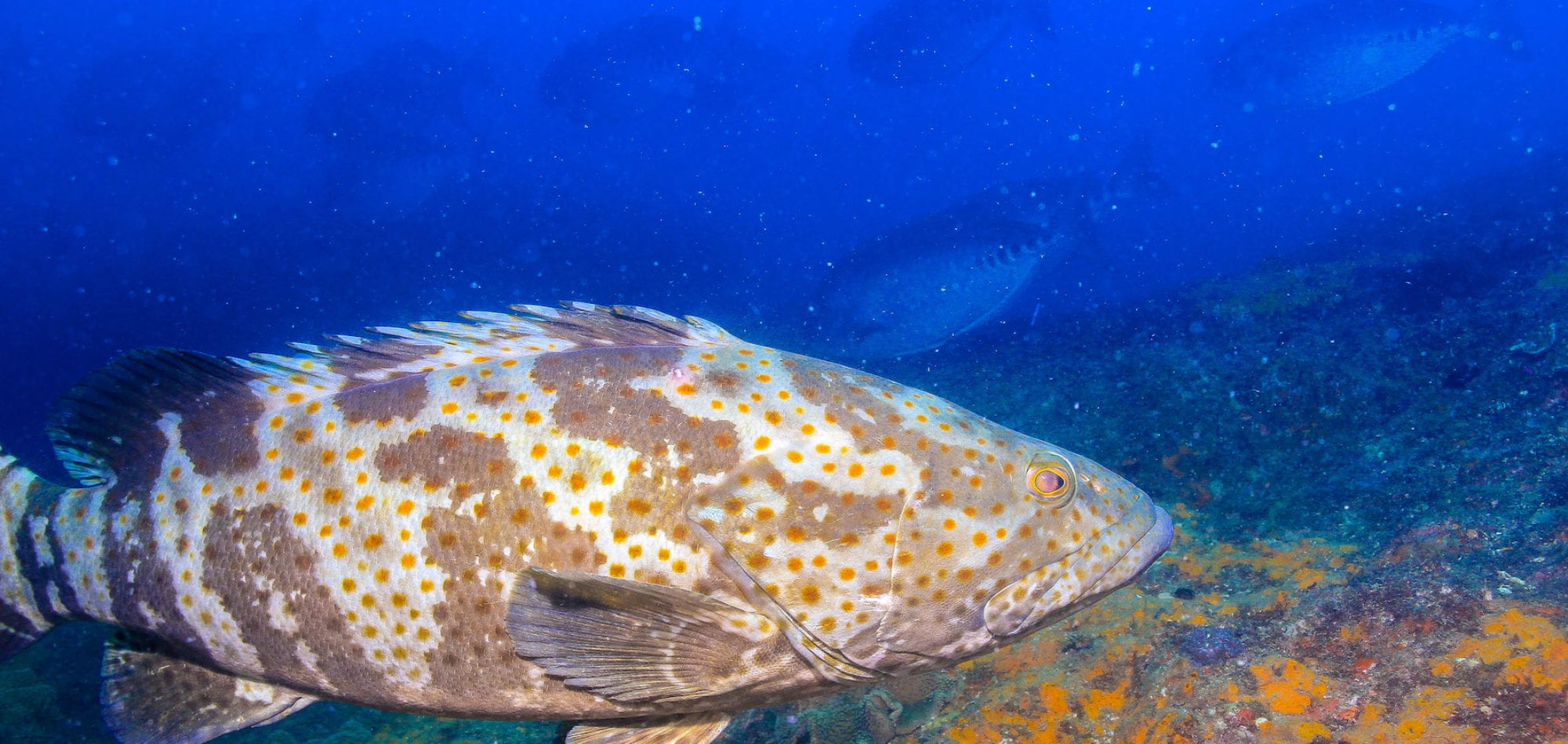 Scuba diving Great Barrier Reef - Cod fish at Wolf Rock dive site