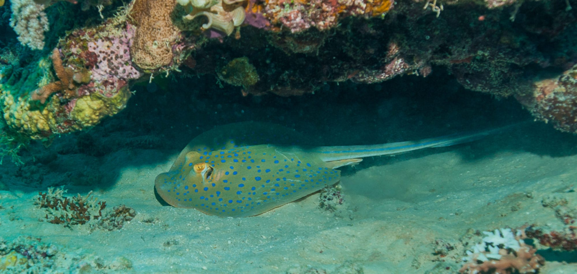 Sting Ray - Great Barrier Reef