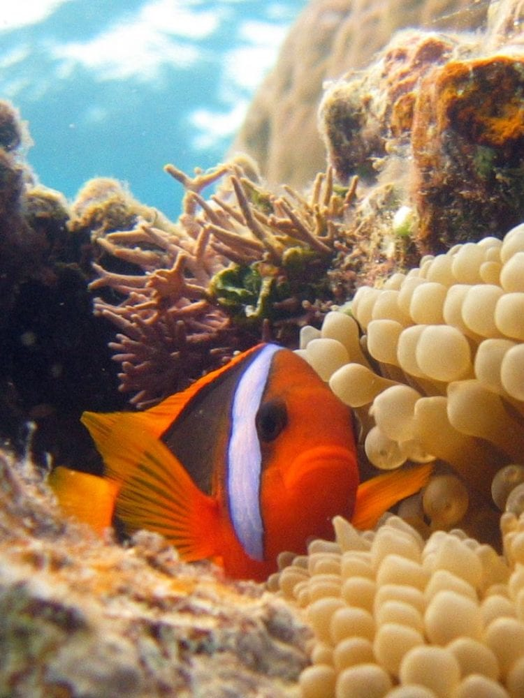 Black Anemonefish, Great Barrier Reef
