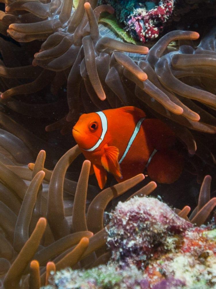 Clownfish - Great Barrier Reef