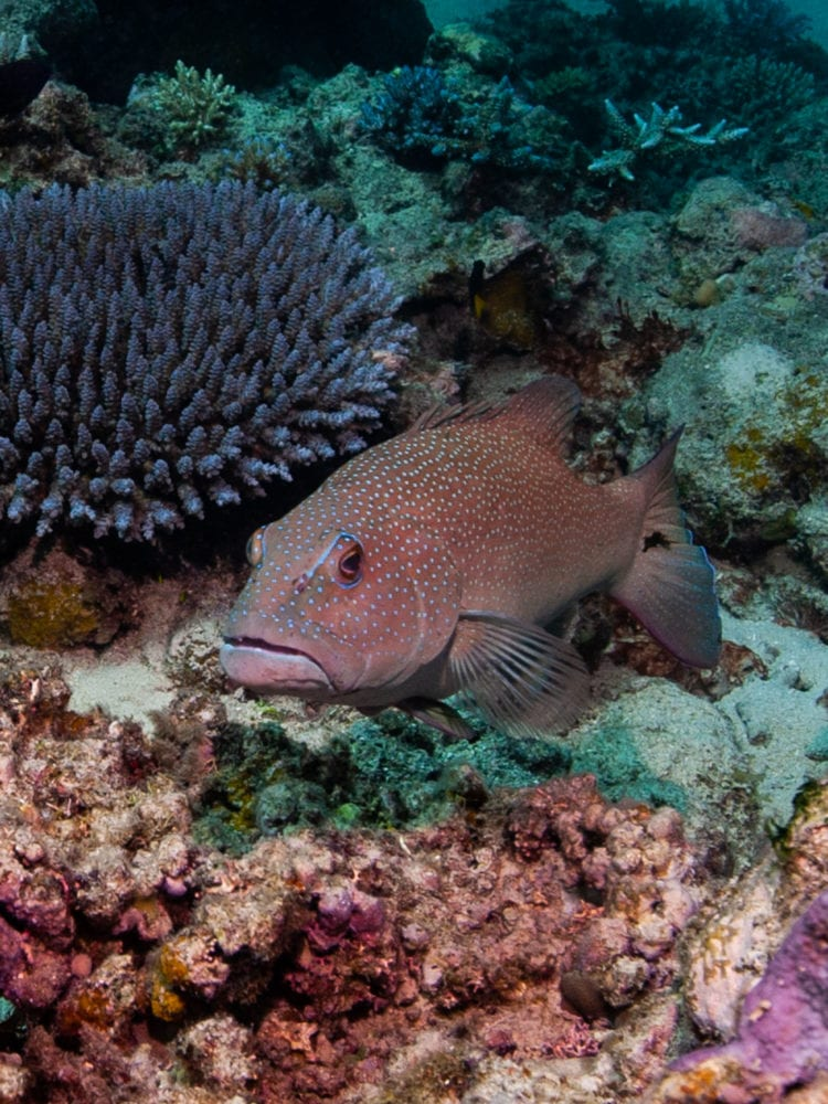 Cairns day trip - Coral Trout on the Great Barrier Reef