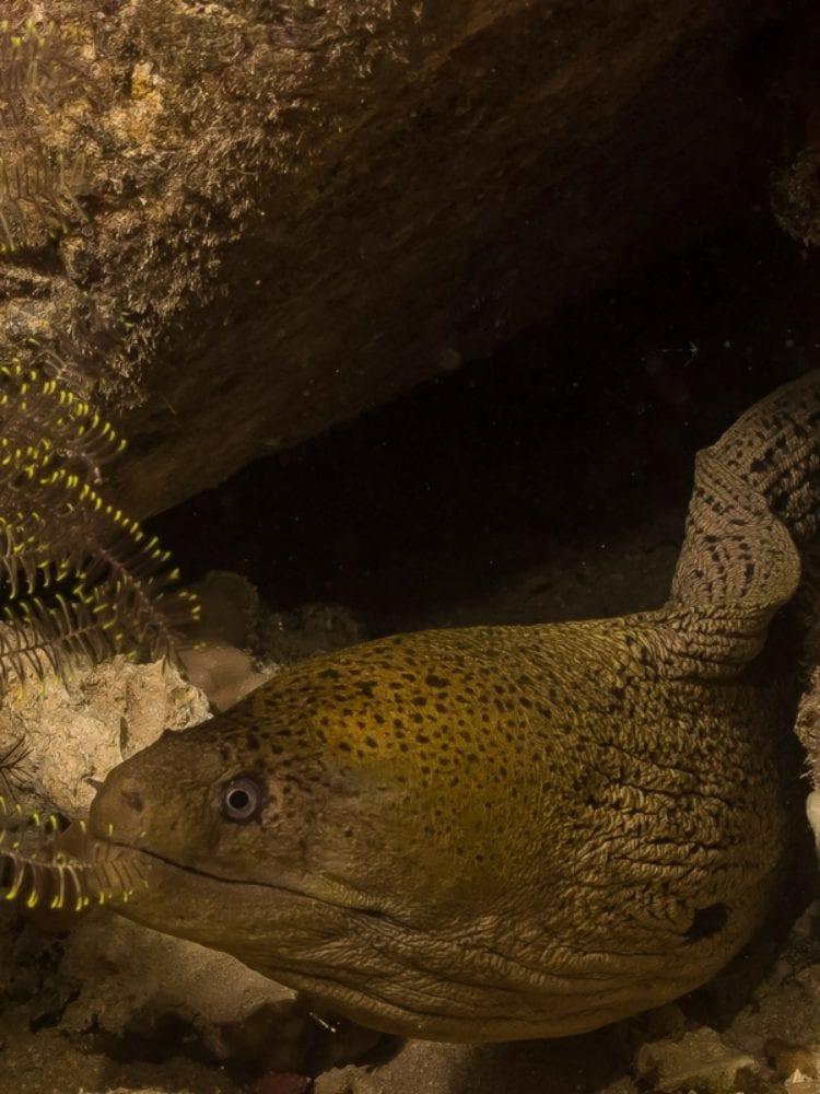 Moray Eel - Great Barrier Reef
