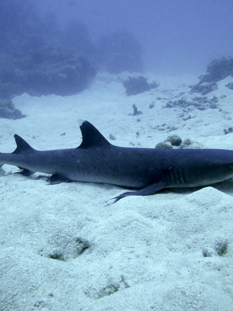 Cairns dive certification - photo of a white tipped reef shark