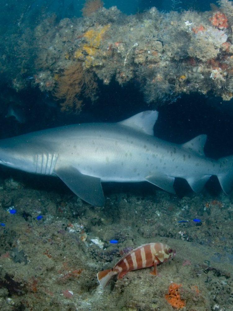 Navy Pier - Grey Nurse Shark