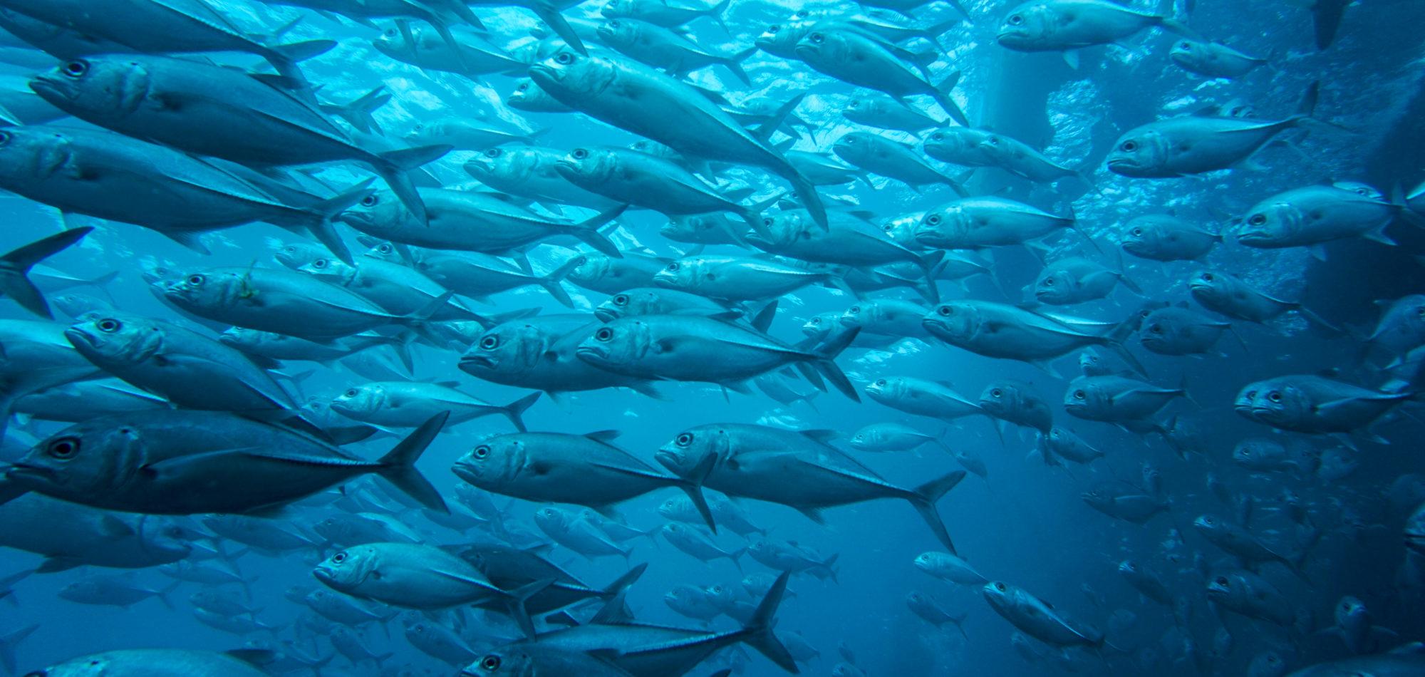 Navy Pier - Schooling pelagic