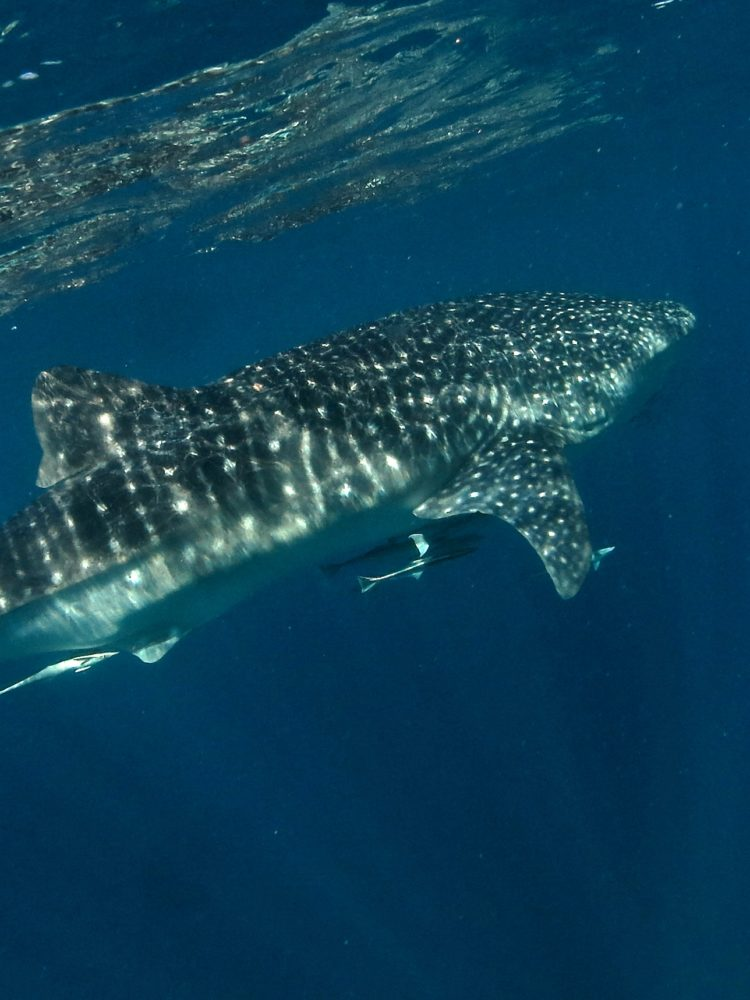 Whale Sharks – Western Australia (Late March – September)
