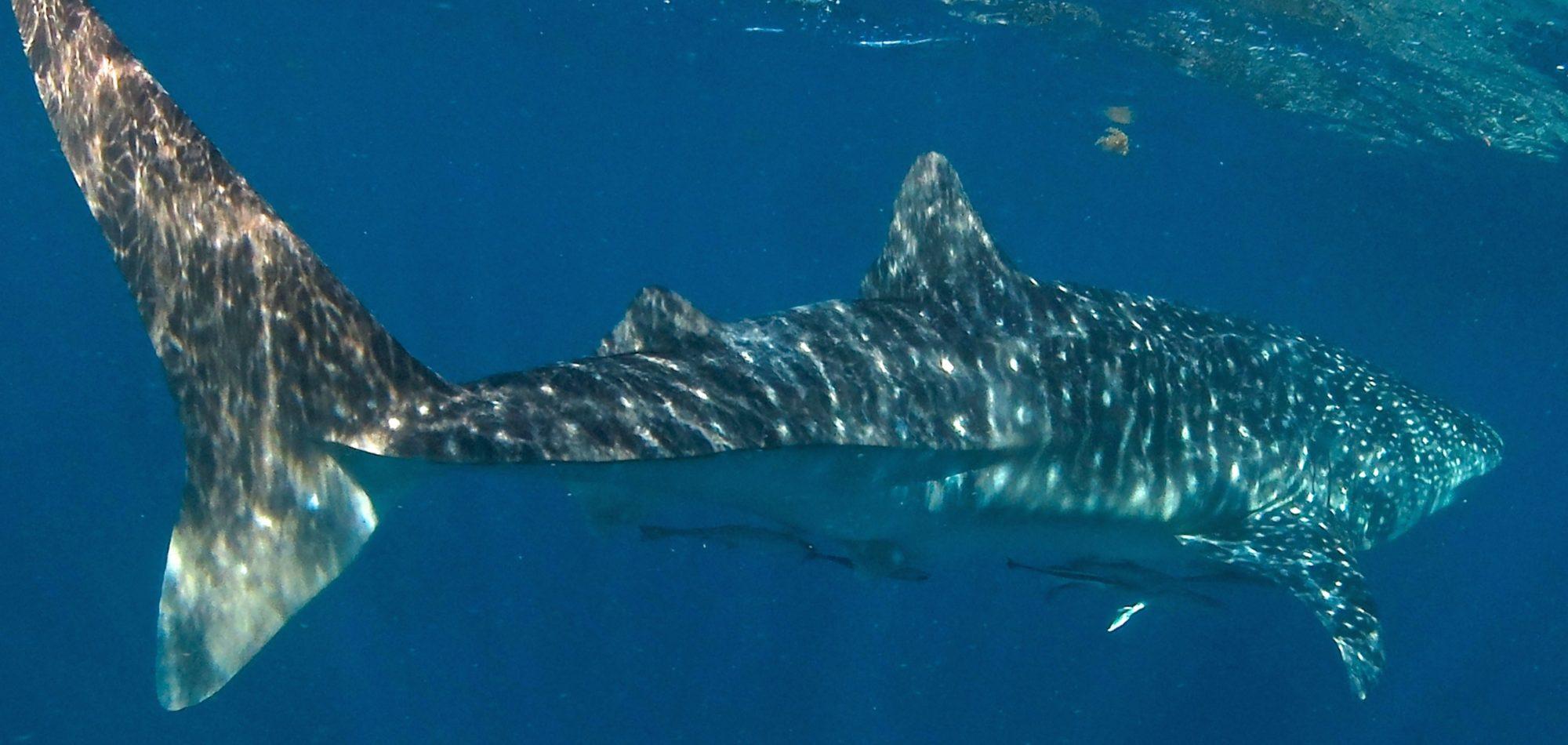 Ningaloo Reef - Whale Shark