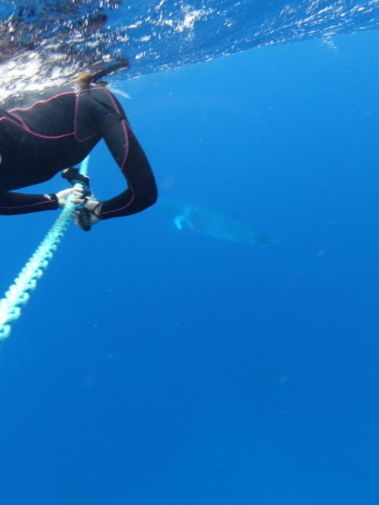 Minke Whale & snorkeller