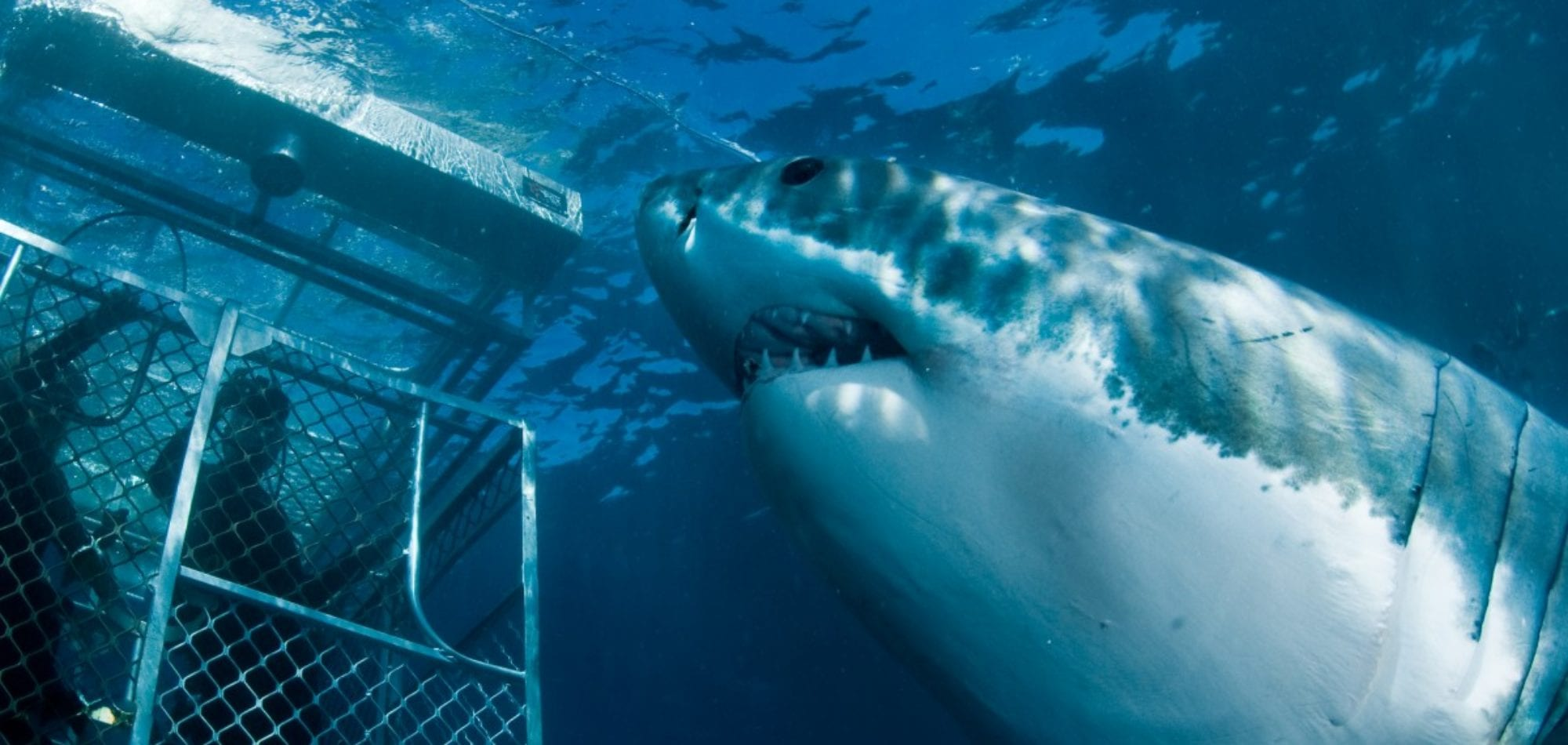 Great White Sharks Cage Dive