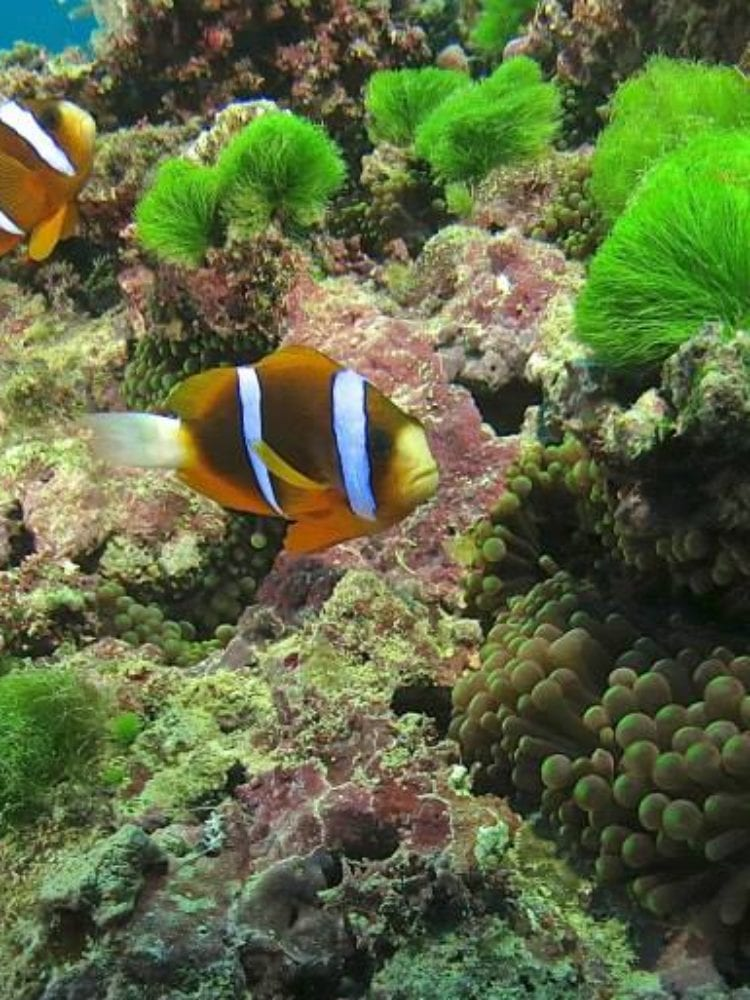 Cairns scuba diving day trip - Anememe fish on the Great Barrier Reef