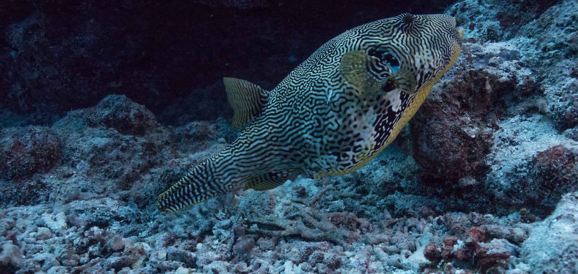 Whitsundays dive experience - box puffer fish