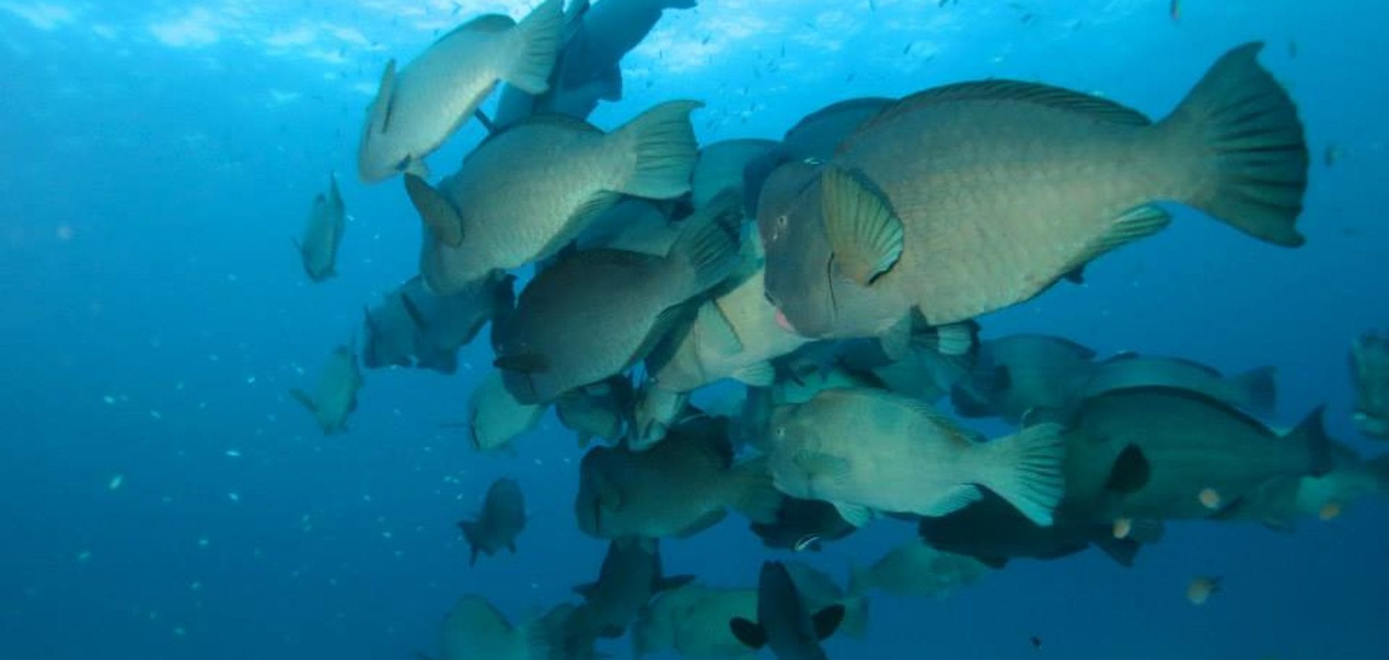 Cairns scuba diving day tour - Bumphead parrot fish, Great Barrier Reef
