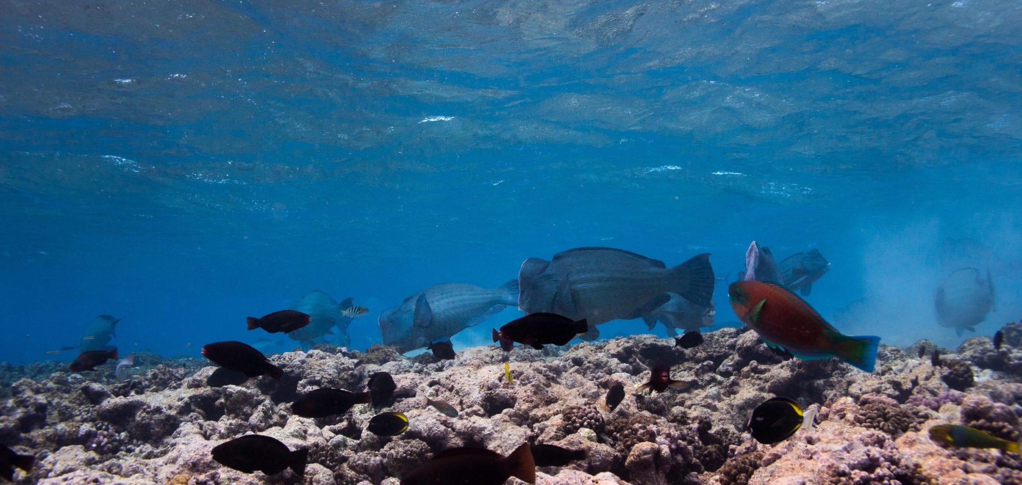 Scuba diving trips in Australia with Dive In Australia - bumphead parrot fish
