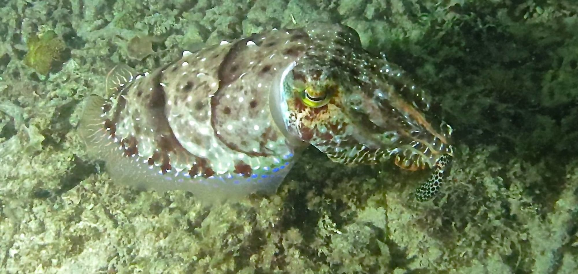 Cairns scuba diving day trip - cuttle fish