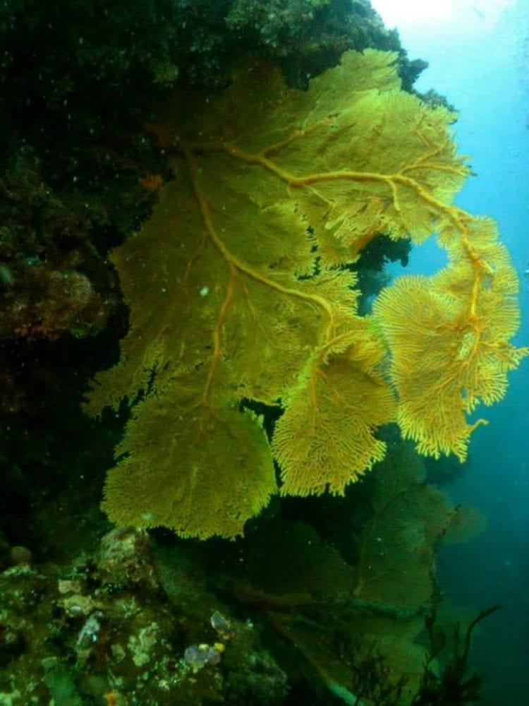 Fan Coral & Diver, Great Barrier Reef