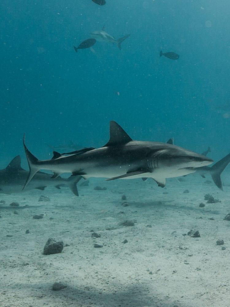 Holmes Reef-Reef Sharks
