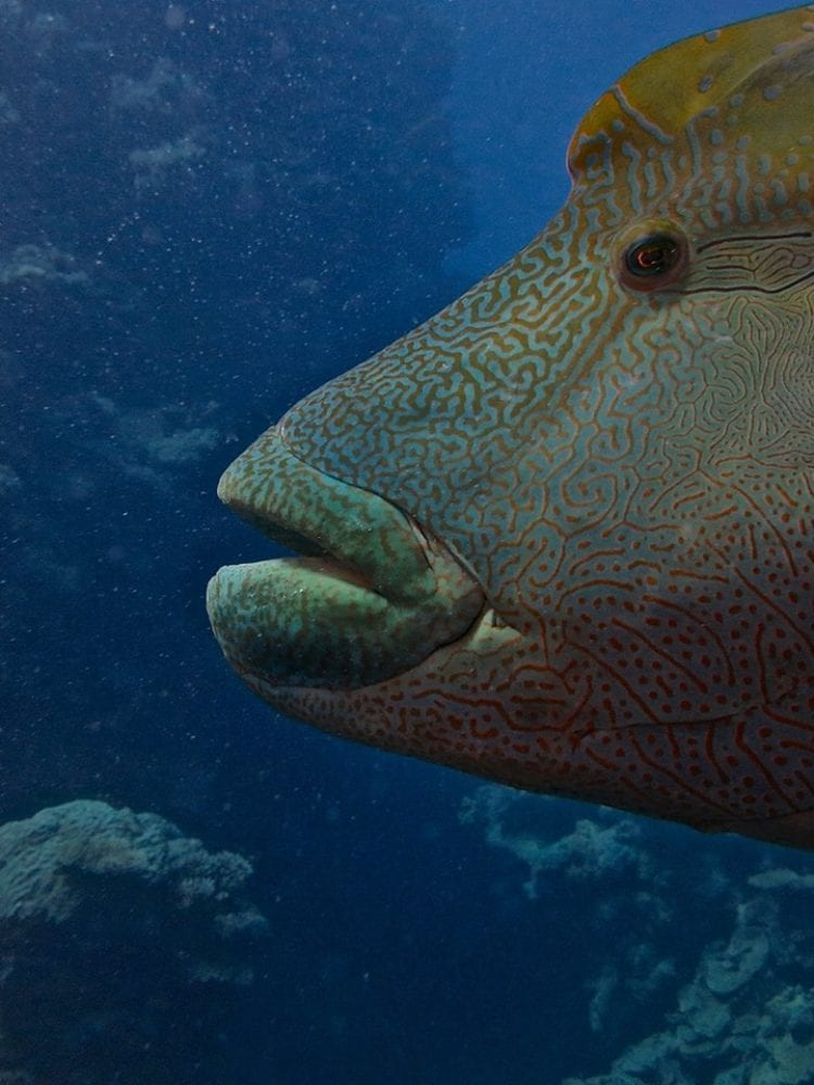 Cairns scuba diving day trip - Maori Wrasse on the Great Barrier Reef