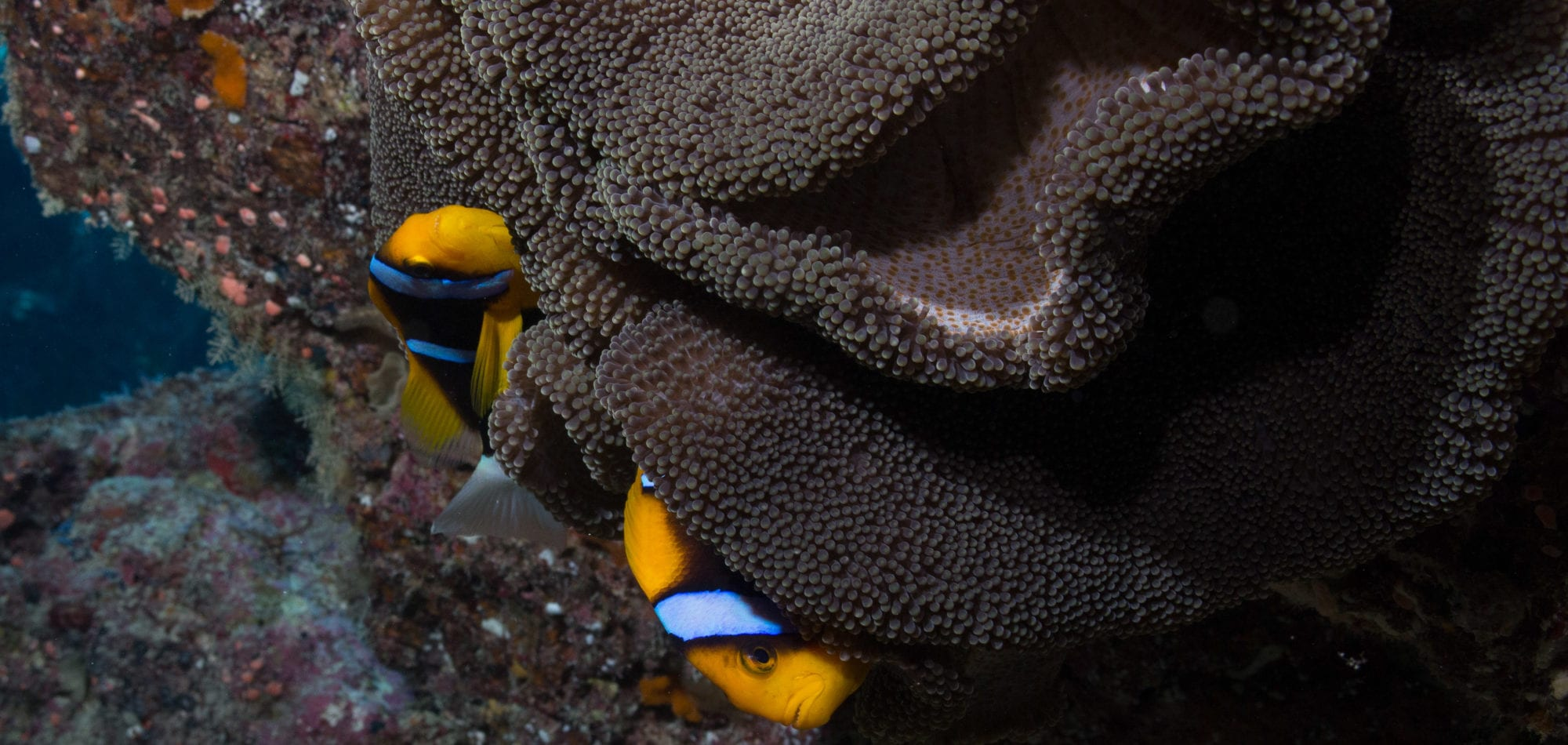 Scuba Diving trip in Australia - Clown Fish on the Great Barrier Reef