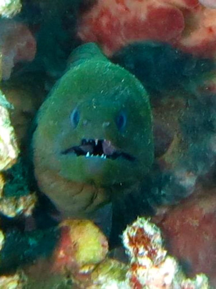 Cairns scuba diving day tour - Moray Eel on the Great Barrier Reef