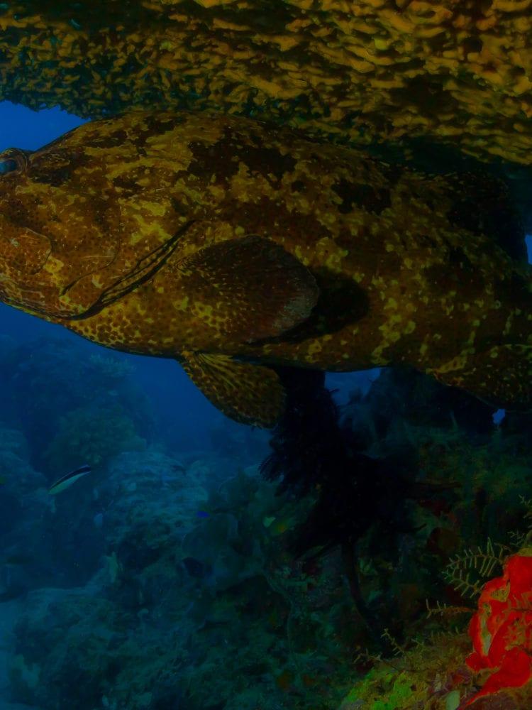 Scuba diving in Australia - Potato Codfish at the Ribbon Reefs