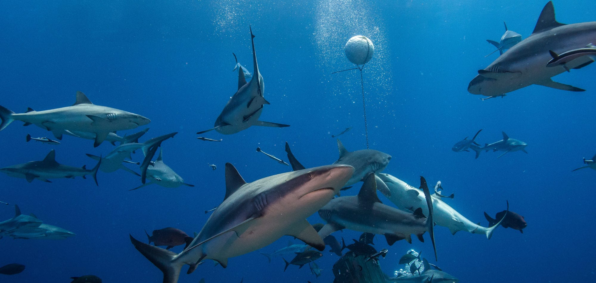 Scuba dive in Australia - Shark feeding trip in the Coral Sea