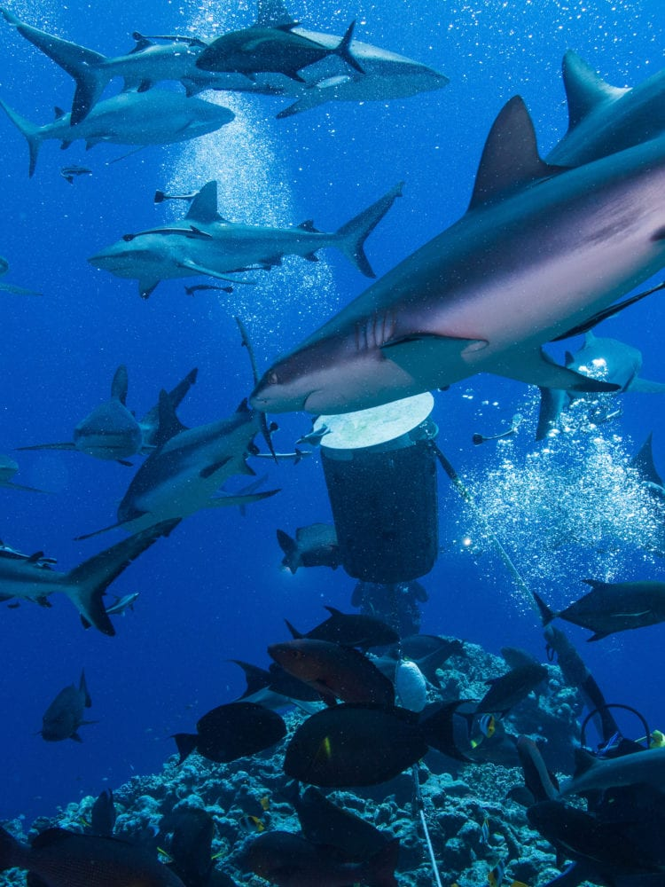 Scuba dive holiday in Australia - Sharks in the Coral Sea