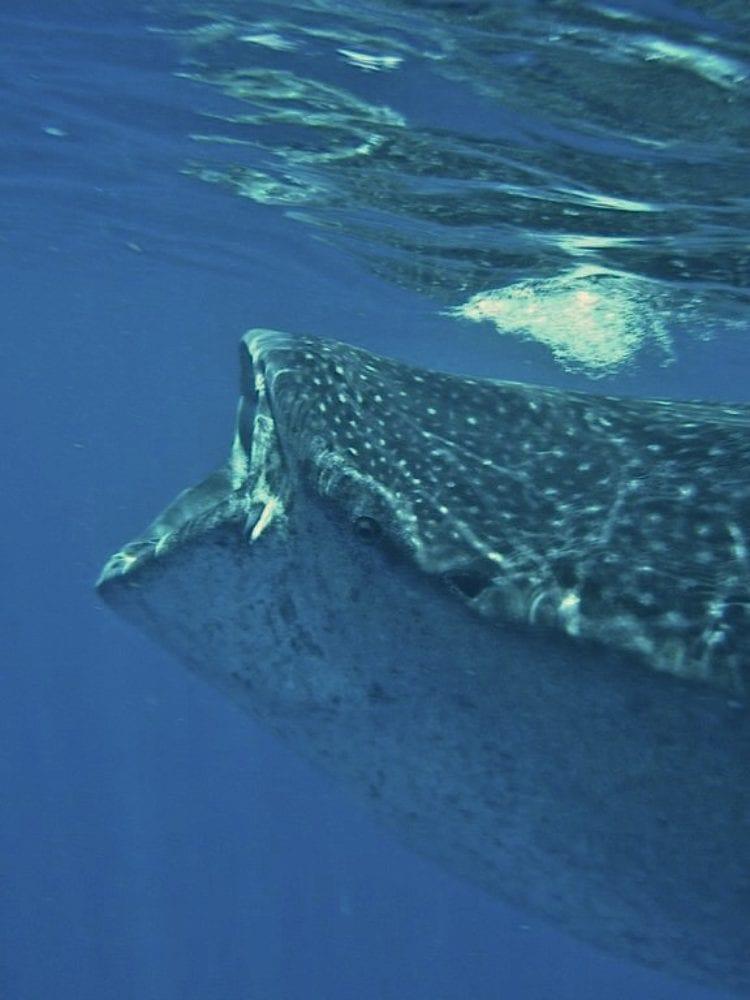 Whale Shark - Ningaloo Reef
