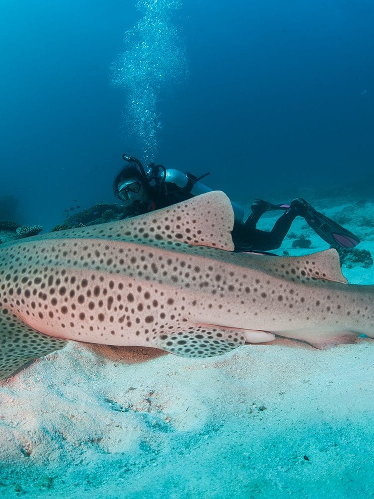 Leopard Shark - Lady Elliot Island