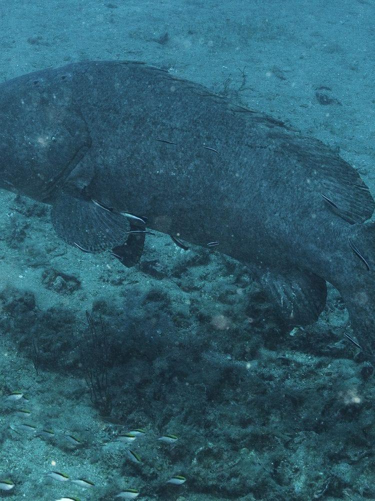 Diving in Australia - Queensland Grouper